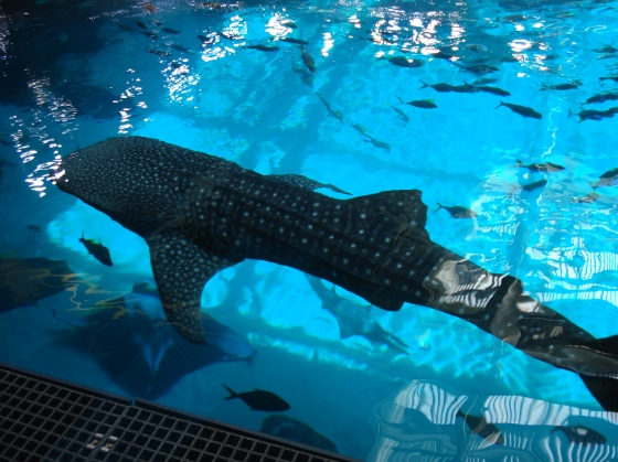 Whale shark at Georgia Aquarium