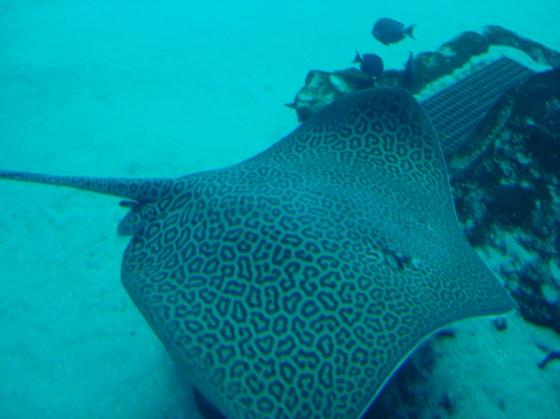 Sting Ray at Georgia Aquarium